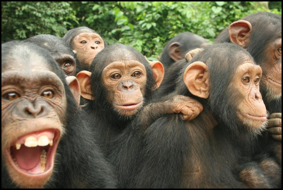 group-chimps-2-2